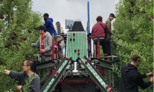 one-of-a-kind apple harvest-assistive and in-field sorting machine